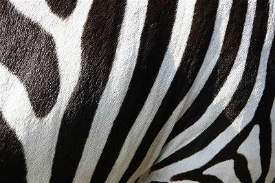 Why do zebras have stripes-zenmoon.org