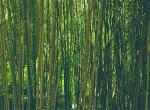 bamboo-1200x900-zenmoon